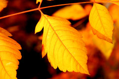 Autumn leaves. Closeup of yellow and orange toned sharped autumn leaves royalty free stock image
