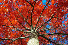 Autumn Leaves. Trees with red autumn leaves in countryside Australia stock photo