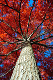 Autumn Leaves. Trees with red autumn leaves in countryside Australia royalty free stock photos