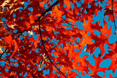 Autumn Leaves. Trees with red autumn leaves in countryside Australia Royalty Free Stock Photography
