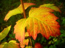 Autumn leaves. Close up. Beautiful bright red autumn leaves Stock Photo