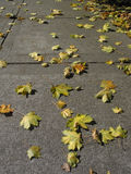 Autumn Leaves. Colorful maple leaves scatter down a city sidewalk Royalty Free Stock Photography