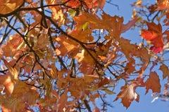 Autumn Leaves. Fiery Autumn leaves against a deep blue sky Royalty Free Stock Photos