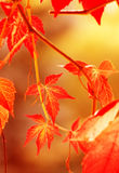Autumn leaves,. Very shallow focus Royalty Free Stock Image