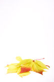 Autumn leaves. On a white background. A place for your text Royalty Free Stock Image