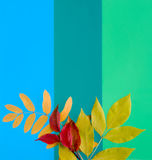 Autumn Leaves. On a color background stock photography