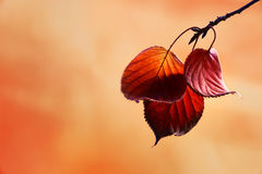 Autumn leaves. Autumn colored leaves hanging from a branch Stock Images