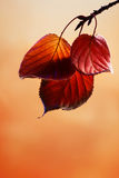 Autumn leaves. Autumn colored leaves hanging from a branch Royalty Free Stock Image