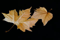 Autumn leaves. Autumn leaves isolated on black background Stock Photos