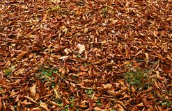 Autumn Leaves. A carpet of autumn leaves Stock Photo