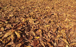 Autumn leaves. Lots of leaves from the horse chestnut tree fallen on the grass Stock Image