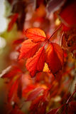 Autumn leaves. Some red leafs during the autumn season Royalty Free Stock Images