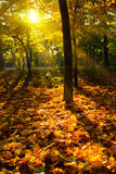 Autumn leaves. Yellow autumn leaves in park at sunset Royalty Free Stock Photos