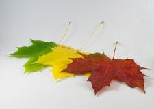 Autumn leaves. Three remarkable autumn maple leaves, it is possible to use as a support Stock Photo