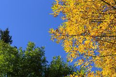 Autumn leaves. Scenic view of Autumnal leaves on tree with blue sky background Royalty Free Stock Image