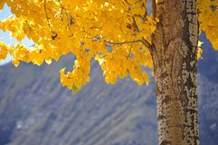 Autumn leaves. Yellow leaves in Tibet, China, 2009 Stock Image