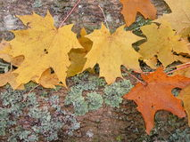 Autumn leaves. Autumn maple leaves on the tree trunk, moss Royalty Free Stock Image