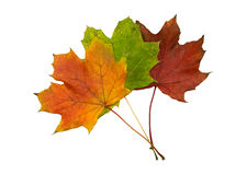 Autumn leaves. Three autumn leaves (brown, green, red Stock Photo
