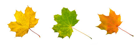 Autumn leaves. Three autumn leaves (brown, green, red Royalty Free Stock Images
