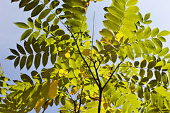 Autumn leaves. Autumn leaves against the blue sky Royalty Free Stock Photo