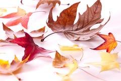 Autumn leaves. Isolated on white background Royalty Free Stock Image