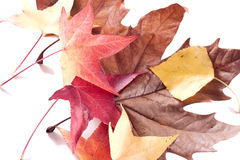 Autumn leaves. Isolated on a white background Stock Photo