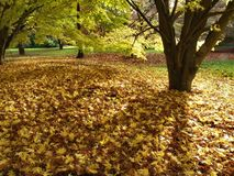 Autumn Leaves. A carpet of Autumn leaves in park Stock Photos