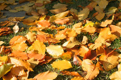 Autumn leaves. Autumn colorful leaves from beech tree fallen on grass Stock Image