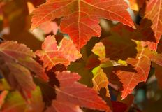 Autumn Leaves. Up close shot of some autumn leaves growing on a tree Stock Photography