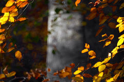 Autumn leaves. Of beech tree Stock Image