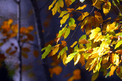 Autumn leaves. Of beech tree Stock Images