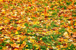 Autumn Leaves. Colorful autumn leaves on the ground Stock Image