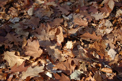 Autumn leaves. Background from the falling down autumn leaves Royalty Free Stock Photography