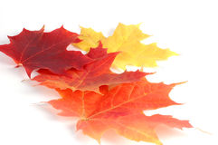 Autumn Leaves. Multi colored autumn maple leaves isolated on a white background Royalty Free Stock Photos