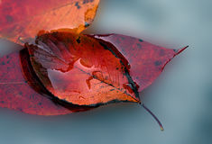 Autumn Leaves. Macro of red/yellow/orange fall leaves on a blue watery background royalty free stock photos