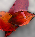 Autumn Leaves. Macro of red/yellow/orange fall leaves stock images