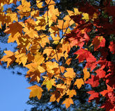 Autumn leaves. Autumn maple leaves in orange and red Stock Images