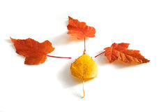 Autumn leaves. Four autumn colored leaves isolated on white (maple and birch Royalty Free Stock Image