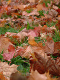 Autumn Leaves. Closeup of fallen orange and red autumn leaves Royalty Free Stock Photo
