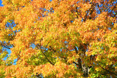 Autumn Leaves. Leaves on a Tree in Autumn royalty free stock image