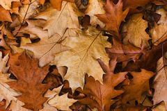 Autumn leaves. A pile of autumn leaves that have fallen Royalty Free Stock Images