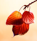 Autumn leaves. Autumn coloured leaves hanging from a branch royalty free stock photos