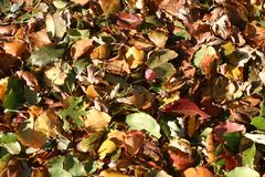 Autumn Leaves. Colorful autumn leaves from pin oak live oak Bradford pear and silver maple in Dallas Texas Stock Photography