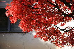 Autumn Leaves. Red Tree with Window Shutters on the background Stock Photos
