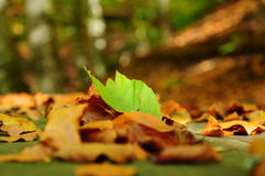 Autumn leaves. Green leaf on yellow and dried leaves Stock Images