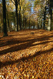 Autumn leaves. European colorful forest soil covered with golden autumn leaves and tall trees in the background royalty free stock photo
