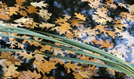 Autumn leaves. Floating on water Royalty Free Stock Photos