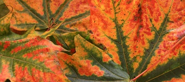 Autumn leaves. Abstract of colors autumn leaves Stock Photo