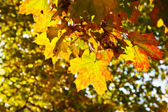 Autumn leaves. Maple leaves. beautiful autumn colors Royalty Free Stock Images