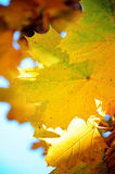 Autumn leaves. In shallow focus Stock Photography